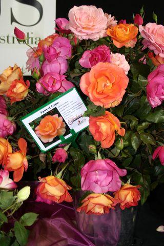 Sm roses 2