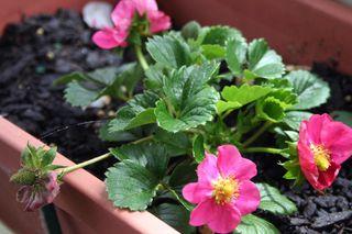 Garden-6-pink-strawberries