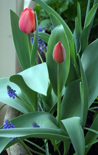 Sm tulips aug 2011