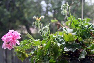 Garden 7 climbing geranium