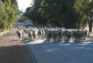 Sm_sheep_on_road